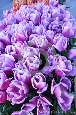 tulip, purple,