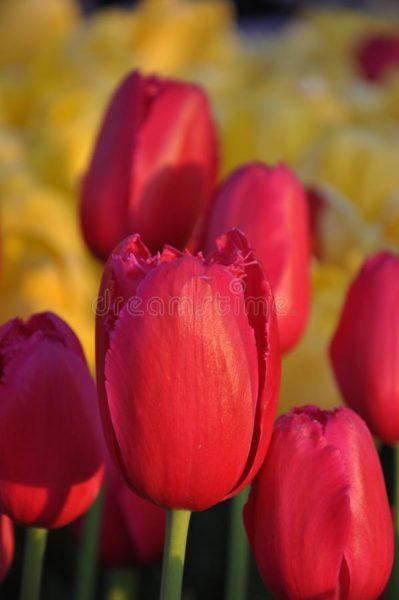tulip, red, istanbul,
