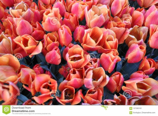 tulip, orange, istanbul,