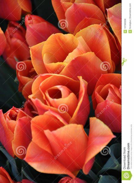 tulip, orange,