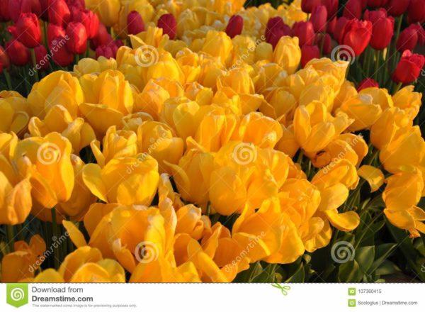 tulip, yellow, istanbul,